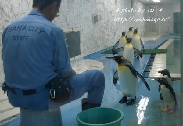 オウサマペンギン&イワトビペンギン