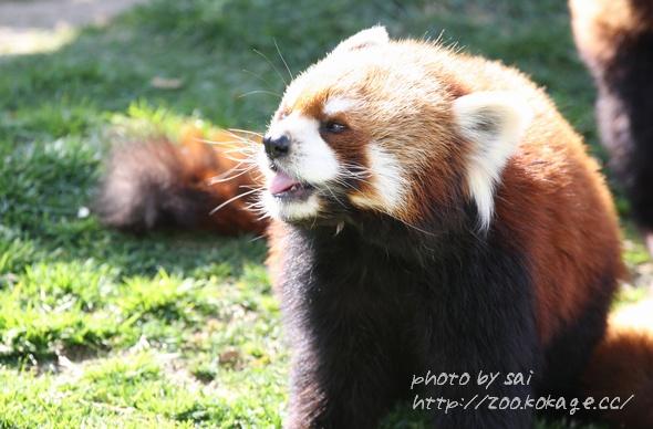 レッサーパンダの画像 p1_30