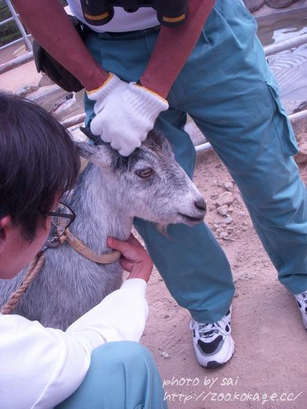 ヤギの採血