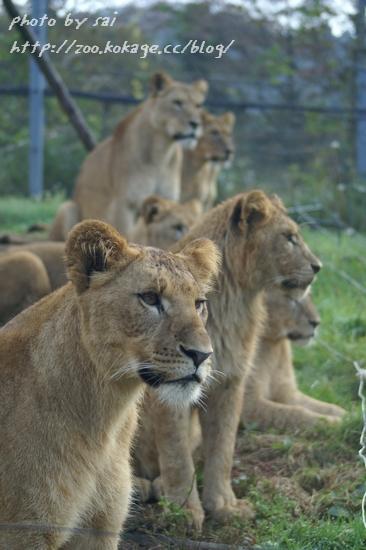 ライオン子供